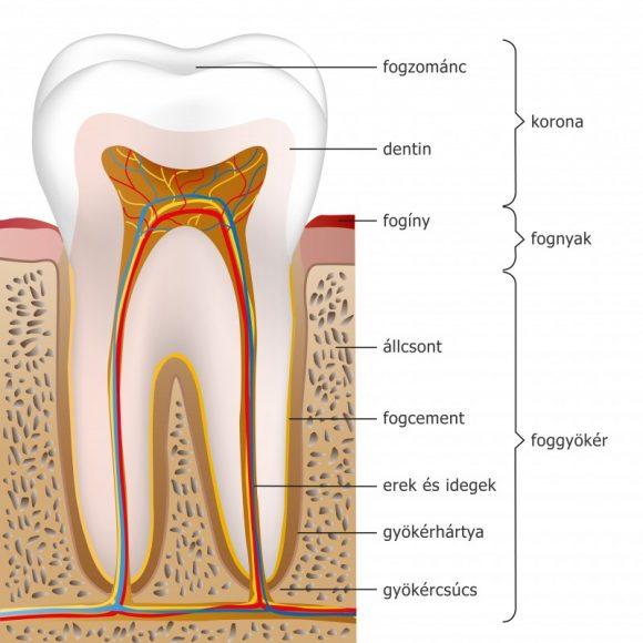 Az egészséges fogak felépítése és anatómiája